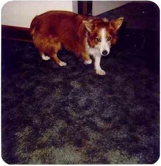 Corgi/Sheltie, Shetland Sheepdog Mix Dog for adoption in Lomita, California - Gertrude