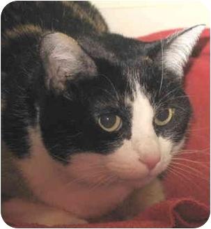 Manx Cat for adoption in Alden, Iowa - Murka
