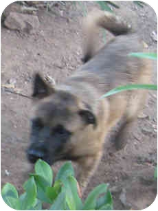 Belgian Shepherd/Belgian Malinois Mix Puppy for adoption in Poway, California - Grover