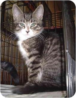 Domestic Shorthair Kitten for adoption in Honesdale, Pennsylvania - Orion