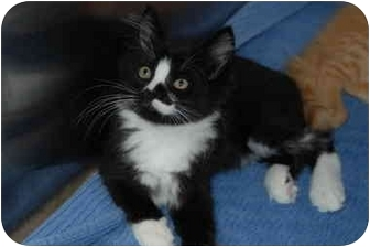 Domestic Longhair Kitten for adoption in Putnam Hall, Florida - Mozzarella