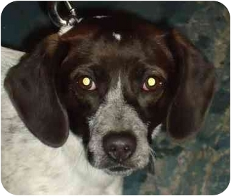 Beagle/Pointer Mix Dog for adoption in Chicago, Illinois - Tilly