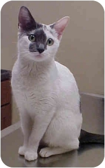 Domestic Shorthair Cat for adoption in Chicago, Illinois - Pinky