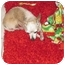 Photo 1 - Chihuahua Dog for adoption in Amelia  Island/Clearwater/Jacksonville, Florida - chloe