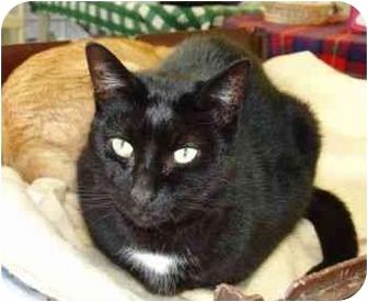 Domestic Shorthair Cat for adoption in Clinton, Connecticut - Magic