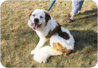 St. Bernard Dog for adoption in Waterford, Michigan - Angel II