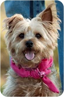 Yorkie, Yorkshire Terrier Mix Dog for adoption in Portsmouth, Rhode Island - Princess-local!