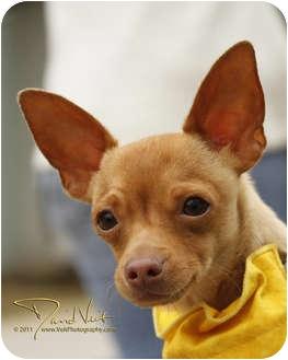 Chihuahua Mix Dog for adoption in San Diego, California - Palmer