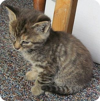 Domestic Shorthair Kitten for adoption in Yakima, Washington - Rez Kitten #5