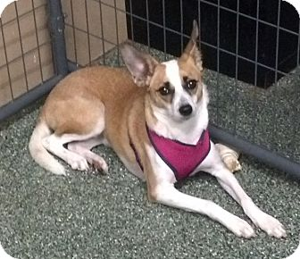 Chihuahua/Terrier (Unknown Type, Medium) Mix Puppy for adoption in Simi Valley, California - Lola