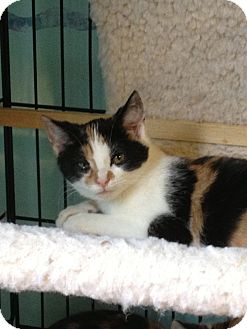 Domestic Shorthair Kitten for adoption in Richfield, Ohio - Chelsea