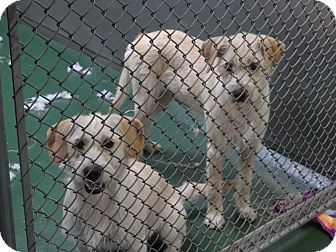 Wheaten Terrier/Dandie Dinmont Terrier Mix Dog for adoption in Peachtree City, Georgia - Sugar & Spice
