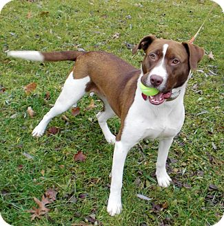 English Springer Spaniel/Hound (Unknown Type) Mix Dog for adoption in Bartonsville, Pennsylvania - MOLLY