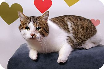 Colorpoint Shorthair Cat for adoption in Sterling Heights, Michigan - Mr. Carson-ADOPTED