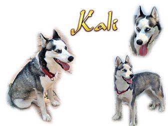 Siberian Husky Dog for adoption in Seminole, Florida - Kali