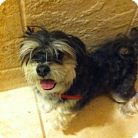 Adopt A Pet :: Toby - Vaudreuil-Dorion, QC