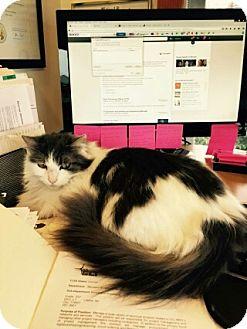 Domestic Mediumhair Cat for adoption in Seattle, Washington - Gracie