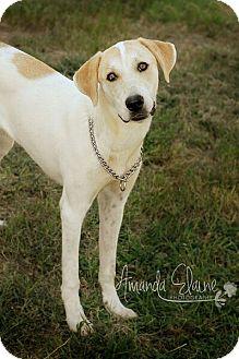 Labrador Retriever/Hound (Unknown Type) Mix Dog for adoption in Pilot Point, Texas - SHEA