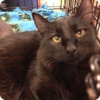 Adopt A Pet :: Raven - San Ramon, CA