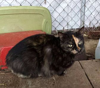 Domestic Shorthair Cat for adoption in Columbia, South Carolina - Holly