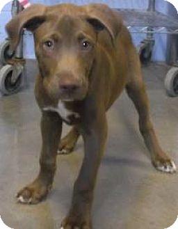 Retriever (Unknown Type) Mix Dog for adoption in Rapid City, South Dakota - Sneetch