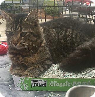 Maine Coon Cat for adoption in Lincolnton, North Carolina - Tasha $20