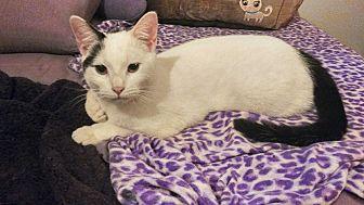 Domestic Shorthair Cat for adoption in Atlanta, Georgia - Domino