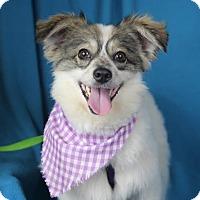 Adopt A Pet :: Rocko - Minneapolis, MN