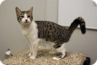 Domestic Shorthair Kitten for adoption in Tallahassee, Florida - Minx