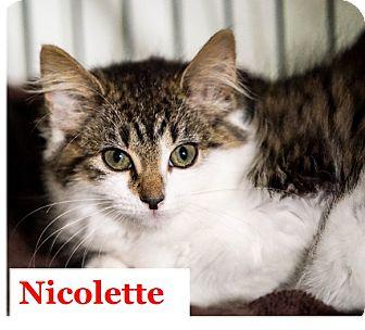 Domestic Mediumhair Kitten for adoption in Morganville, New Jersey - Nicolette