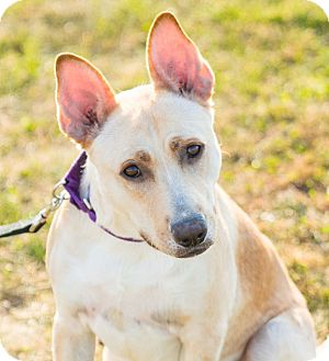 Australian Cattle Dog/Shepherd (Unknown Type) Mix Dog for adoption in Seville, Ohio - Zach-REDUCED FEE