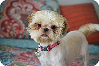 Shih Tzu Mix Dog for adoption in Bedminster, New Jersey - Rio