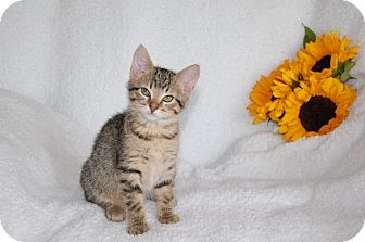 Domestic Shorthair Kitten for adoption in East Hartford, Connecticut - Lilac (in CT)