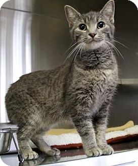 Domestic Shorthair Cat for adoption in Port Hope, Ontario - Shadow