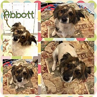 Chihuahua/Maltese Mix Dog for adoption in Oxford, Connecticut - Abbott