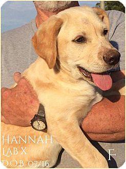 Labrador Retriever Mix Puppy for adoption in DeForest, Wisconsin - Hannah
