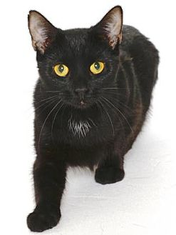 Domestic Shorthair Cat for adoption in Gloucester, Virginia - JOYCE