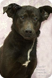 Labrador Retriever Mix Dog for adoption in Newnan City, Georgia - Charlie