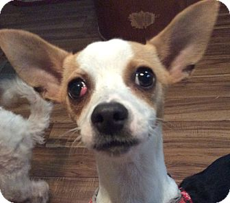 Rat Terrier/Italian Greyhound Mix Dog for adoption in Oakland, Florida - Macchiato