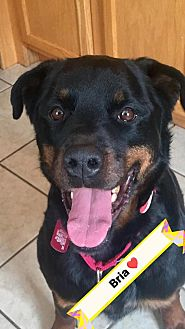 Rottweiler Mix Dog for adoption in Frederick, Pennsylvania - Bria