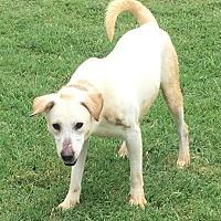 Adopt A Pet :: Mickey - Brattleboro, VT