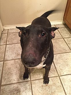 Bull Terrier Dog for adoption in Dallas, Texas - Lucy