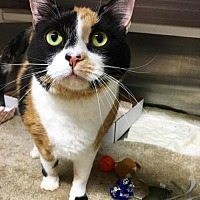 Domestic Shorthair Cat for adoption in Herndon, Virginia - Summer