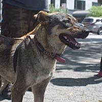 Adopt A Pet :: Saneya Egypt - Norwalk, CT