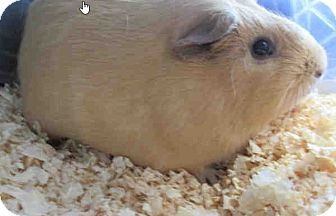 Guinea Pig for adoption in Fullerton, California - *Urgent* River