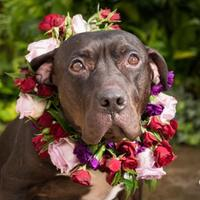 American Pit Bull Terrier Mix Dog for adoption in Fort Collins, Colorado - Banjo