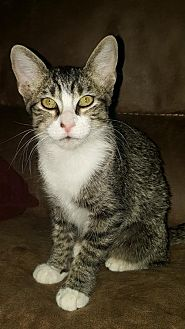 Domestic Shorthair Kitten for adoption in Frisco, Texas - ZILLA