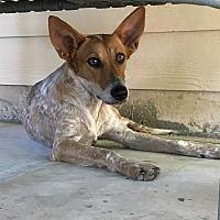 Adopt A Pet :: Fancy - Denver, CO