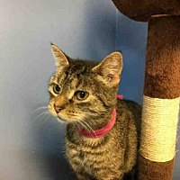 Adopt A Pet :: KITTY PURRY - Canfield, OH