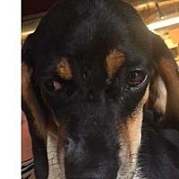Adopt A Pet :: Louie - Foristell, MO